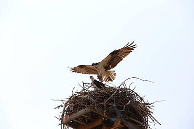 Wall Art - Photograph - Osprey And Chick by Don Small Jr