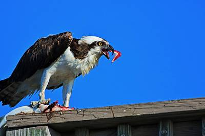Photograph - Osprey Breakfast by Michiale Schneider