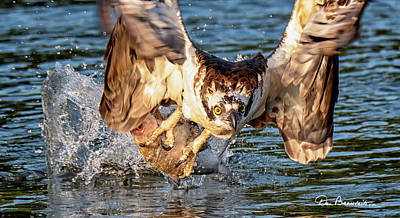 Dan Beauvais Rights Managed Images - Osprey Catch 9403 Royalty-Free Image by Dan Beauvais