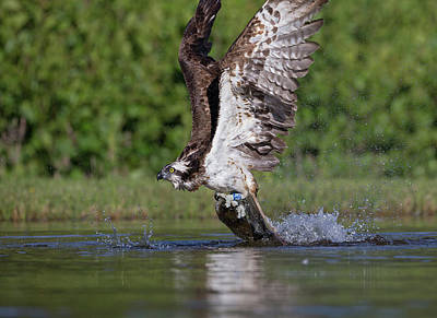 Photograph - Osprey Dragging Fish by Peter Walkden