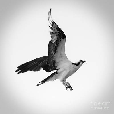 Photograph - Osprey Drama Black And White Square by Carol Groenen
