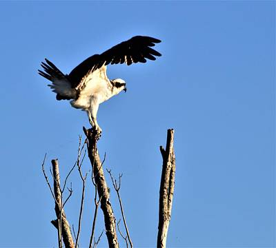 Mountain Landscape Rights Managed Images - Osprey Exercise  Royalty-Free Image by Warren Thompson