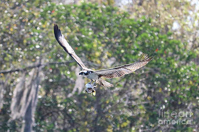 Photograph - Osprey Flying By With Fish by Carol Groenen