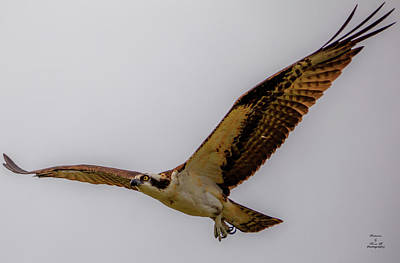 Photograph - Osprey Hawk by Kevin Banker