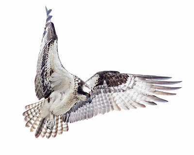 Wall Art - Photograph - Osprey High-key Hover by Phil Thach