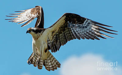 Photograph - Osprey Hover by Mike Dawson