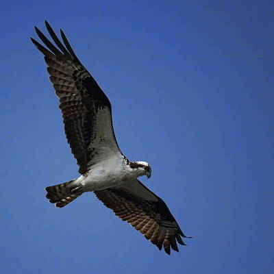 Photograph - Osprey Hovering by Dale Kauzlaric