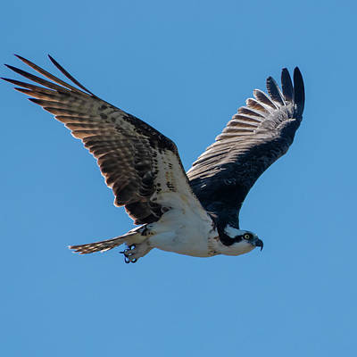 Photograph - Osprey In Flight by Ken Stampfer