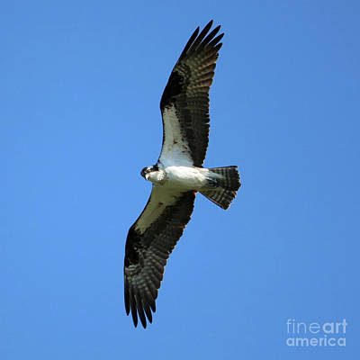 Photograph - Osprey In Flight Square by Carol Groenen