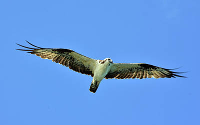 Photograph - Osprey In Full Glide by William Tasker