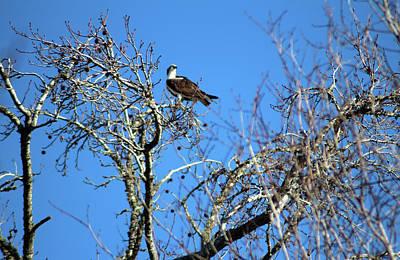 Photograph - Osprey Keeps Watch by Cynthia Guinn