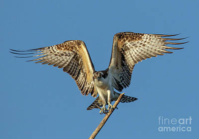 Photograph - Osprey Landing by Beth Sargent