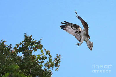 Photograph - Osprey Landing In Treetops by Carol Groenen