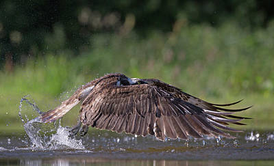 Photograph - Osprey Missed Opportunity by Peter Walkden