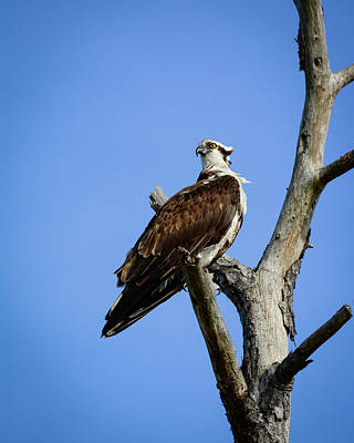 Photograph - Osprey Outlook by Storm Smith