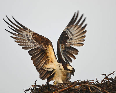 Photograph - Osprey Returns To The Nest by Curt Remington