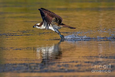 Photograph - Osprey Skid by Beth Sargent