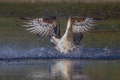 Photograph - Osprey Slpash by Beth Sargent