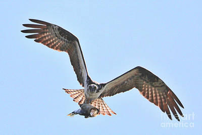 Photograph - Osprey Straight Ahead With Fish by Carol Groenen