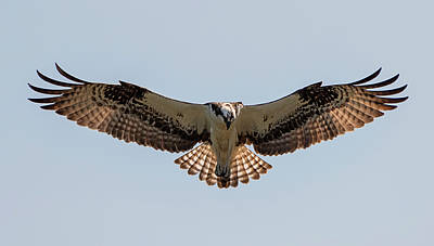 Photograph - Osprey Symmetry by Loree Johnson