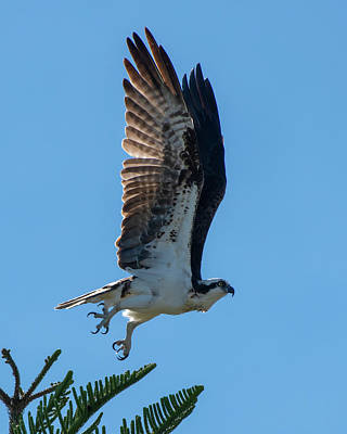 Photograph - Osprey Taking Flight by Ken Stampfer