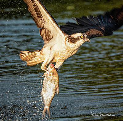 Dan Beauvais Royalty-Free and Rights-Managed Images - Osprey with Breakfast 9410 by Dan Beauvais