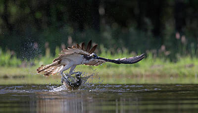 Photograph - Osprey With Catch Of The Day by Peter Walkden