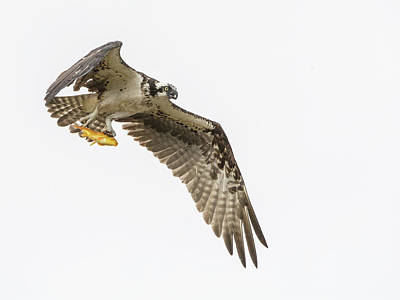 Photograph - Osprey With Fish 3121-091918-1cr by Tam Ryan