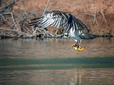 Photograph - Osprey With Fish 3910-101018-1cr by Tam Ryan