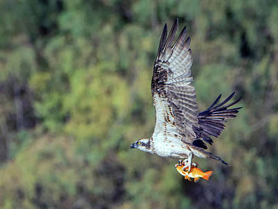 Photograph - Osprey With Fish 3915-101018-1cr by Tam Ryan