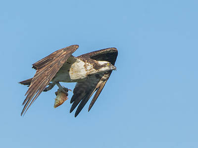 Photograph - Osprey With Fish 9539-111218-cr by Tam Ryan