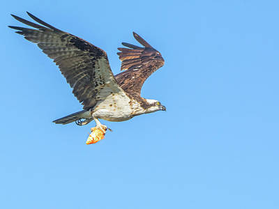 Photograph - Osprey With Fish 9541-111218-1cr by Tam Ryan