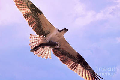 Photograph - Osprey With Fish Overhead by Carol Groenen