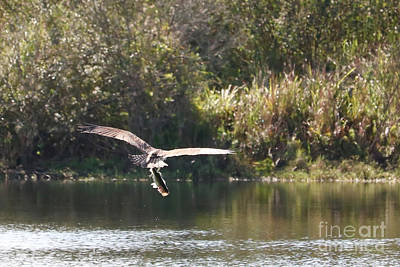 Photograph - Osprey With Fish Over Pond by Carol Groenen