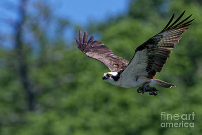 Animals Royalty-Free and Rights-Managed Images - Osprey With Fish by Paul Mashburn