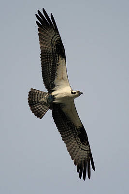 Photograph - Osprey With Fish by Rick Veldman