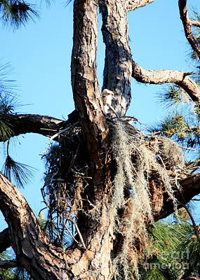 Photograph - Ospreys In Nest by Carol Groenen
