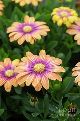 Photograph - Osteospermum Serenity Blushing Beauty Flowers by Tim Gainey