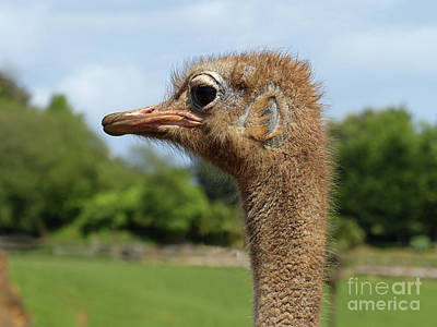 Photograph - Ostrich Head by Phil Banks