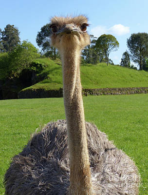 Photograph - Ostrich Hello by Phil Banks