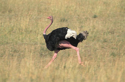 Photograph - Ostrich Running by David Hosking