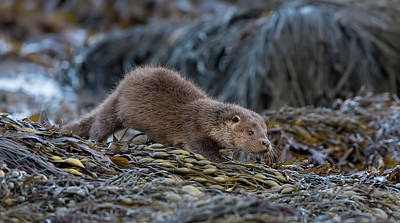 Photograph - Otter Cub On The Prowl by Peter Walkden