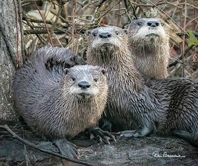 Dan Beauvais Royalty-Free and Rights-Managed Images - Otter Family Portrait 6081 by Dan Beauvais