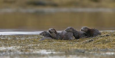 Photograph - Otter Family At Dusk by Peter Walkden