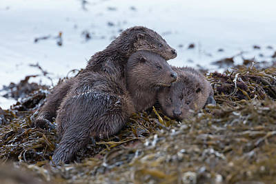 Photograph - Otter Family Together by Peter Walkden