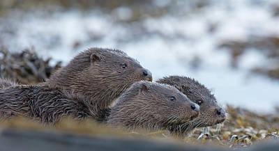 Photograph - Otter Mother With Two Cubs by Peter Walkden