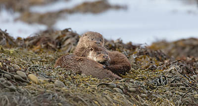 Photograph - Otters Snuggled by Peter Walkden