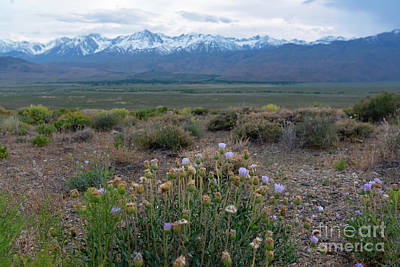 Photograph - Owens Valley Flowers  by Michael Ver Sprill