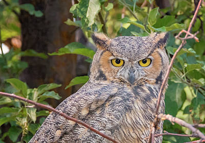 Photograph - Owl Eyes by Loree Johnson