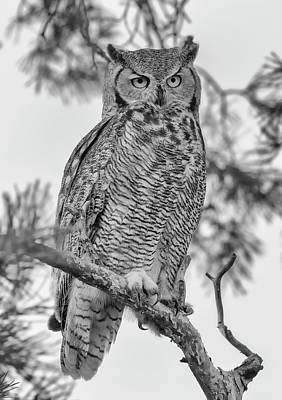 Photograph - Owl In A Pine Tree - Black And White by Loree Johnson